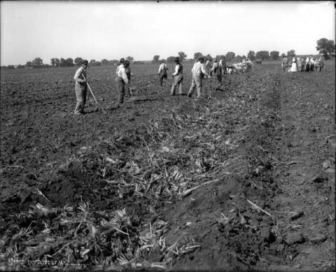 1900s Beet Farmers Denver